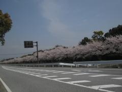 ヤンマーびわ工場桜並木