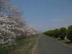11:20 桜並木