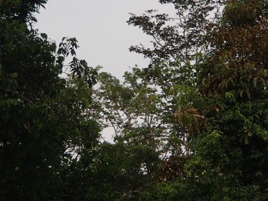 コタキナバル ジャングルクルーズ テングザル