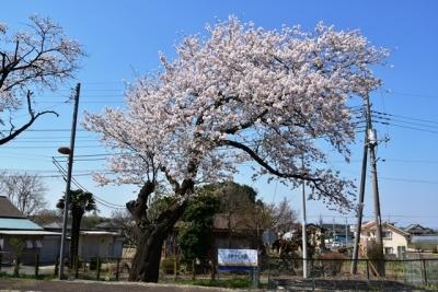 桜が見事です