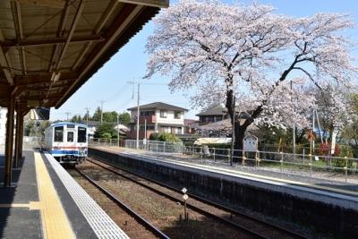 小絹駅の桜