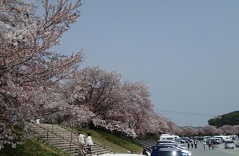 isuzugawanosakura.jpg
