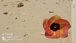 壁紙,デスクトップカレンダー,4月,沖縄,ゆうなの花,オオハマボウ
