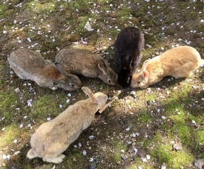 大久野島のウサギさん