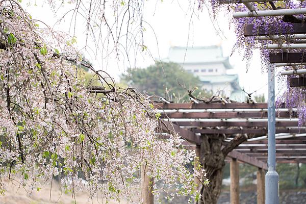 しだれ桜と藤と名古屋城天守
