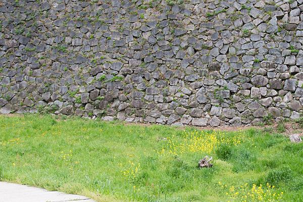 石垣とアブラナ