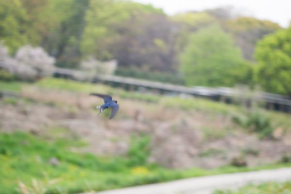 ツバメ飛翔