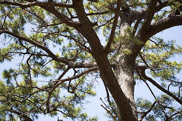 富部神社松の木