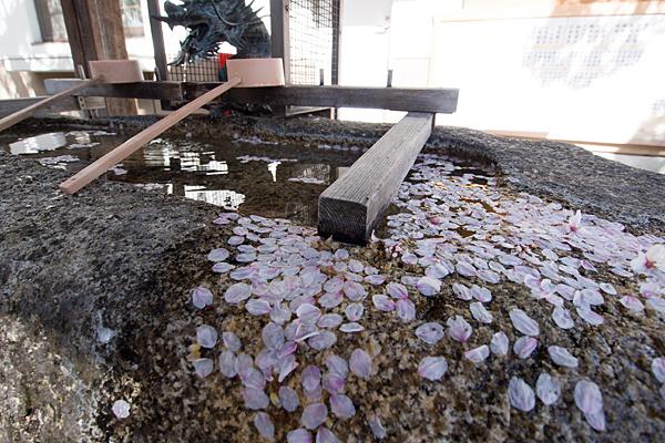 道徳山神社手水と桜の花びら
