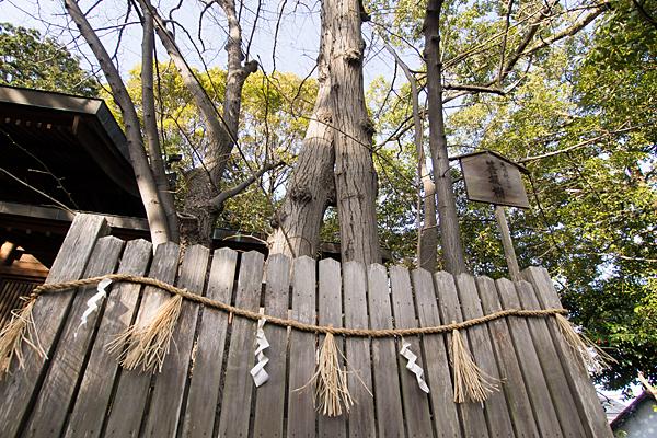 大乃伎神社菩提樹