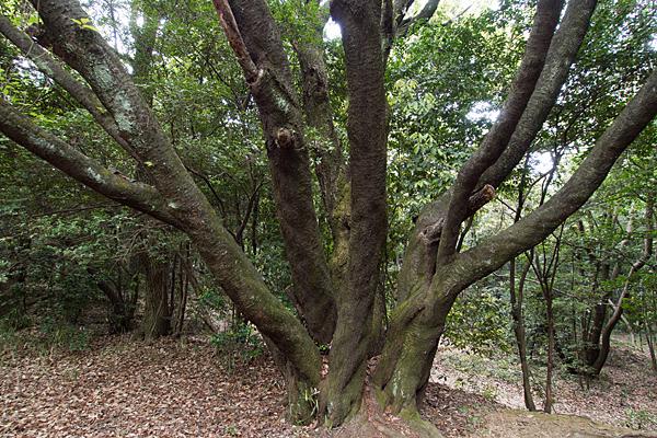 氷上姉子神社境内の気になる木