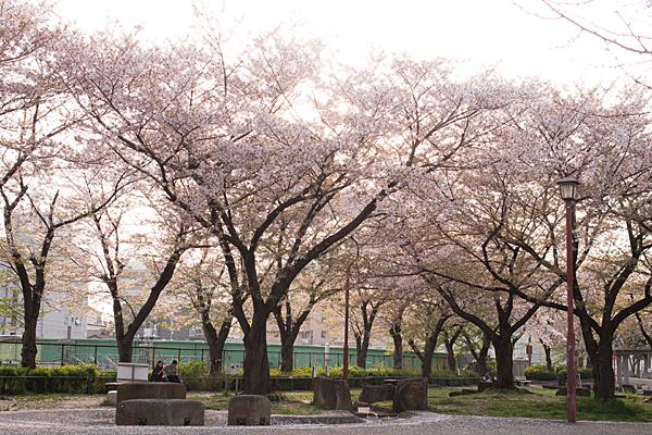 金山桜並木