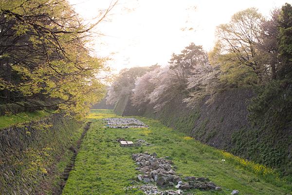 名古屋城の堀桜