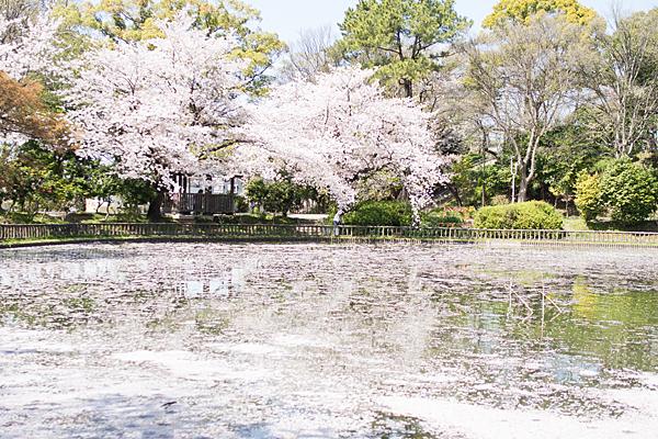 散る桜呼続公園