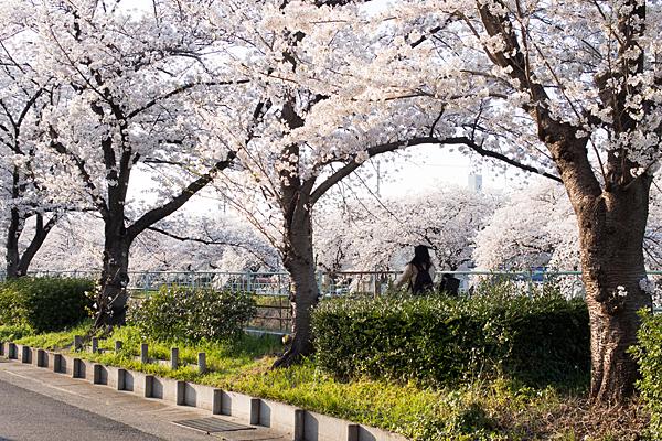 香流川桜と親子