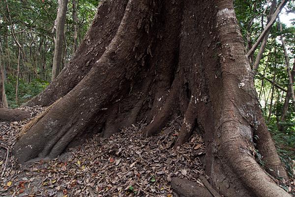 朝苧社近くの巨木