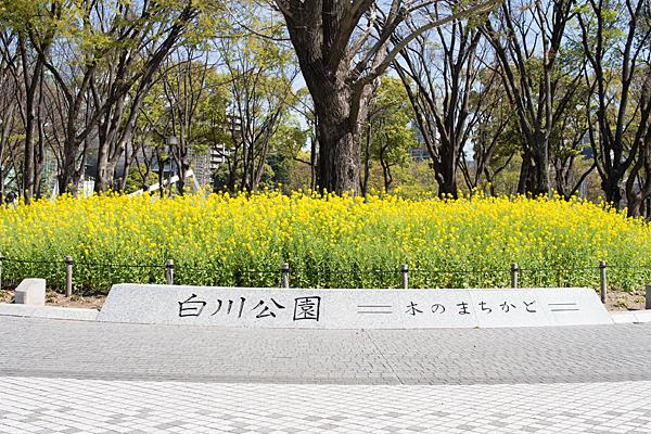 白川公園の菜の花