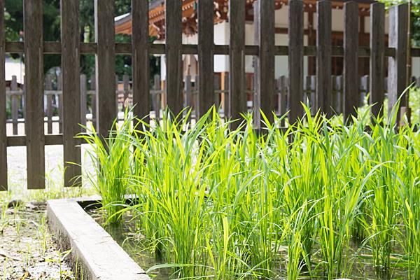 澁川神社の稲
