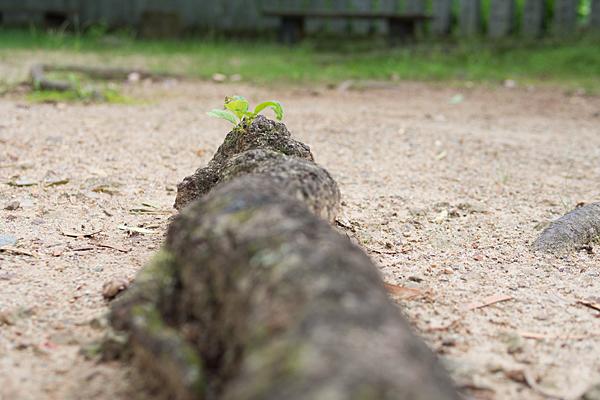 寂光院木の根から新芽