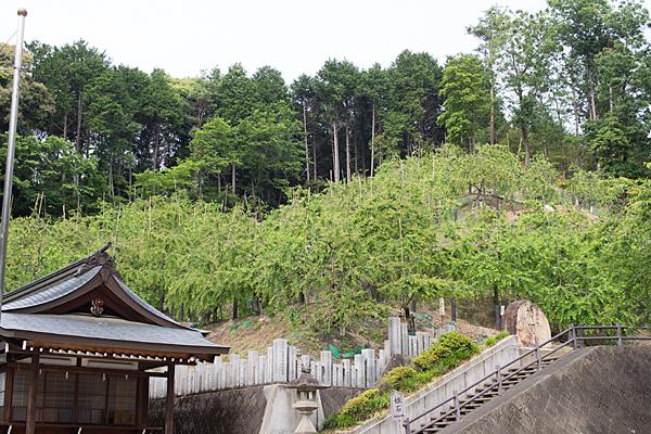 大縣神社梅林の新緑
