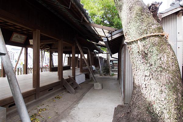 児玉白山社拝殿横から御神木