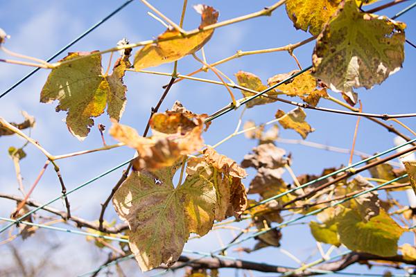 ぶどうの木の葉