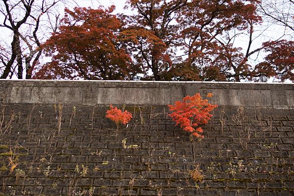 土手の紅葉