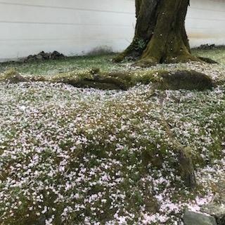 醍醐寺洛桜