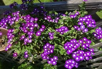 18紫小花