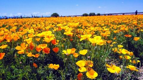 カリフォルニアポピー、可愛いですね。