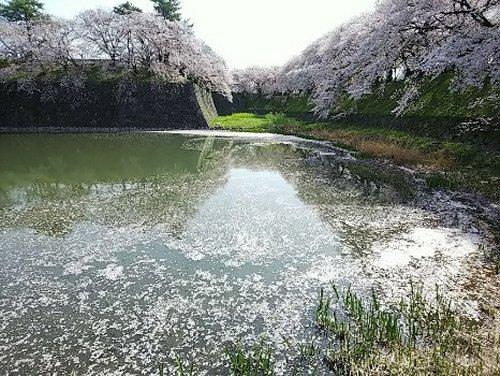 08名古屋城桜