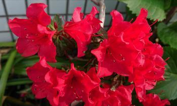 赤い小花 350