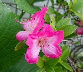 ピンクの小花 350
