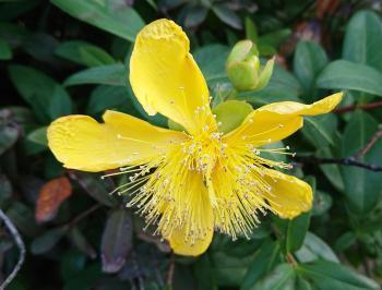 黄色花 350