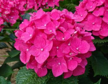濃ピンクの紫陽花 350