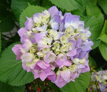 薄紫紫陽花 350