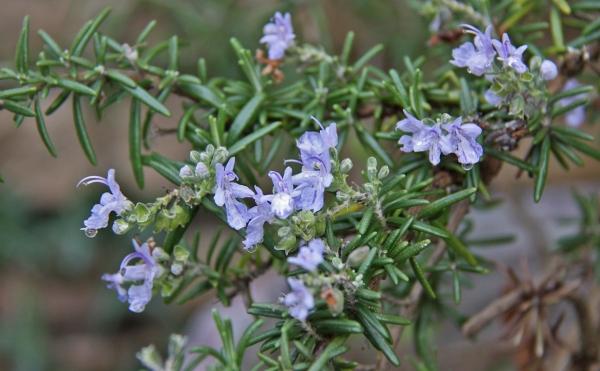 aIMG_6073青い花