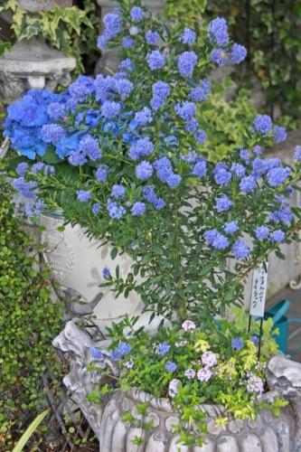 aIMG_6337青い花