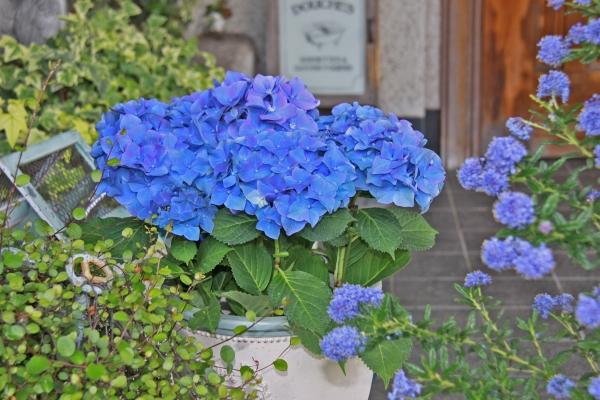 aIMG_6343青い花
