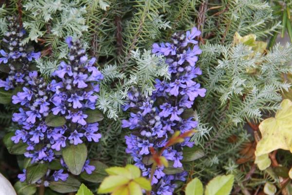 aIMG_6345青い花