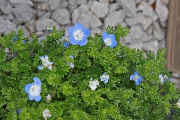 aIMG_6347青い花