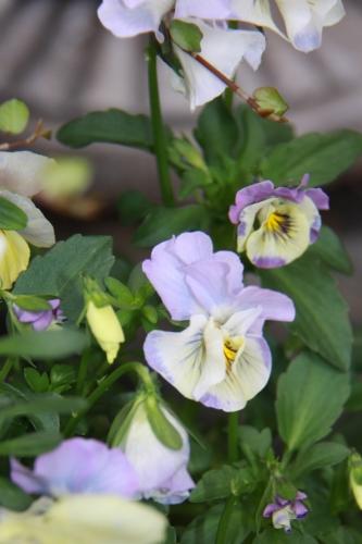aIMG_6348青い花