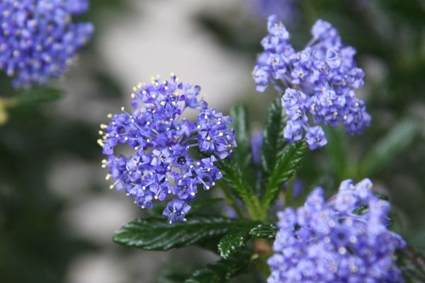 aIMG_6354青い花