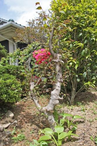 bIMG_6285欅の新芽