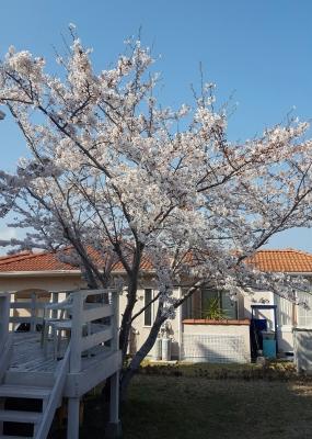 例年以上によく咲いてくれた桜