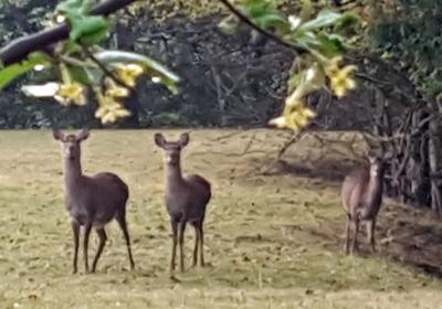 隣のお庭に鹿3頭朝5時45分