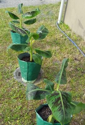 三尺バナナのポット植え完了