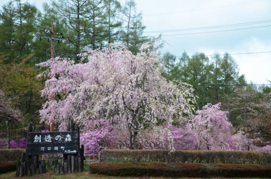 fu.富士桜 002