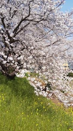 2018桜4