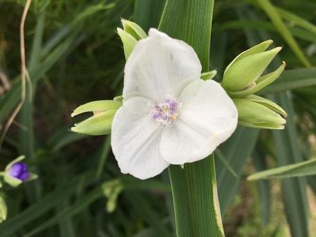 白花紫ツユクサ